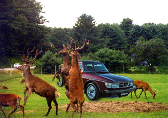 My Saab at the annual deer dinner and dance